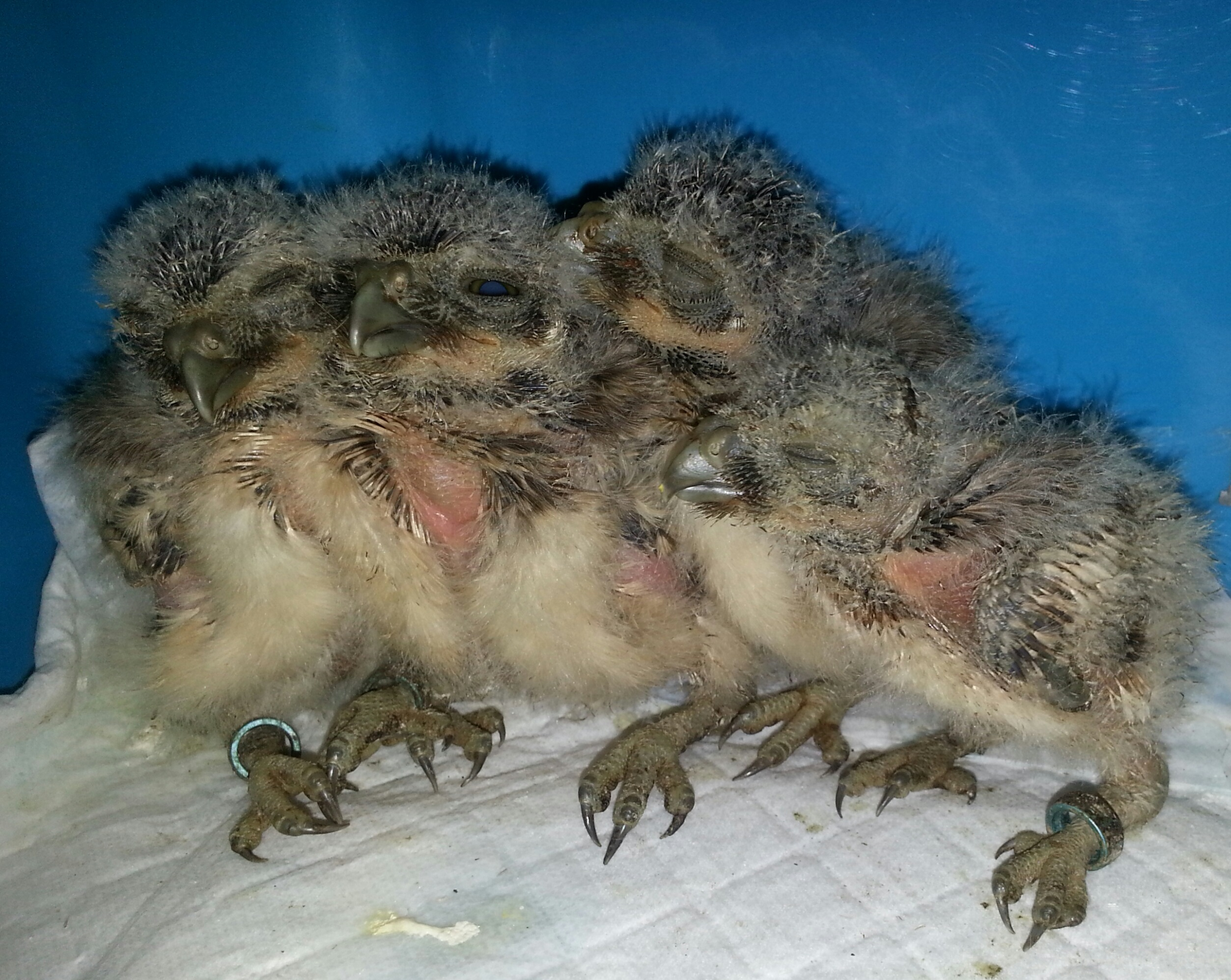 BURROWING OWL CHICKS 2015 PART 2