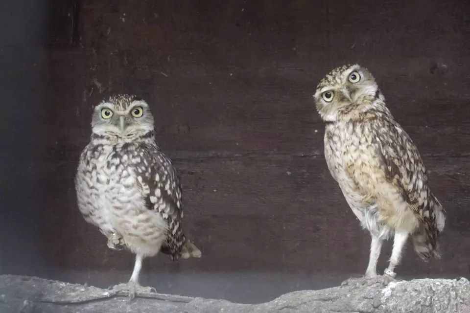 burrowing owls Bonnie and Clyde